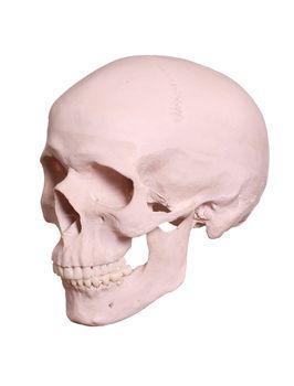 isolated cranium