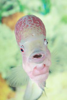 Flowerhorn fish swimming in aquarium, tropical fish looking at the camera