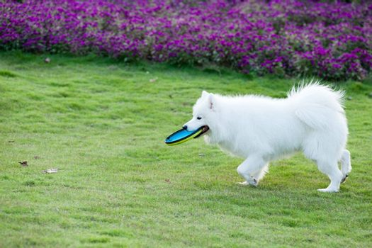 Samoyed dog running and hold a dish in mouth