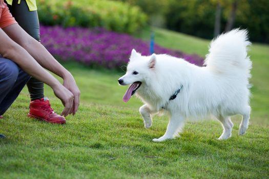 Samoyed dog running to the master