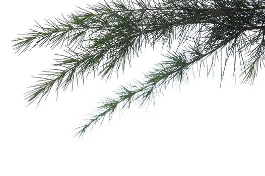 Pine branch isolated against white background