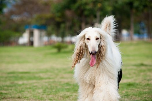White afghan hound dog walking on the lawn