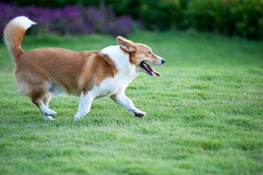 Welsh Corgi dog running on the lawn