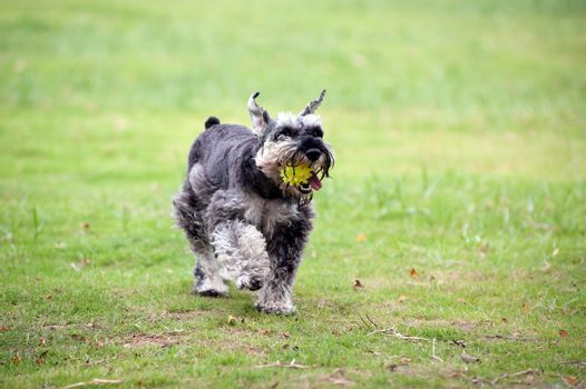 A miniature schnauzer dog holding a ball in the mouth and running on the lawn