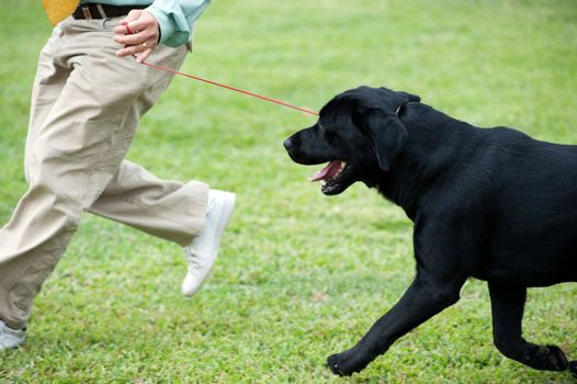 Master playing with his Labrador dog on the lawn