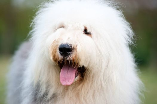 Portrait of an old English sheepdog
