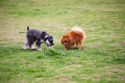Miniature Schnauzer and Pomeranian dogs playing on the lawn