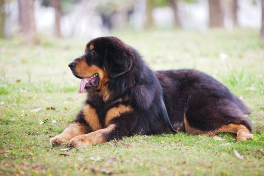 Tibetan Mastiff dog lying on the lawn which is a highly intelligent, independent, strong willed and rather reserved dog