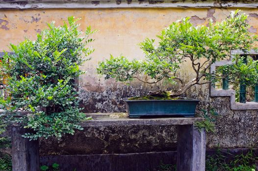 Chinese bonsai in the garden