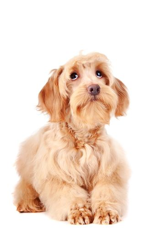 Decorative beige dog
