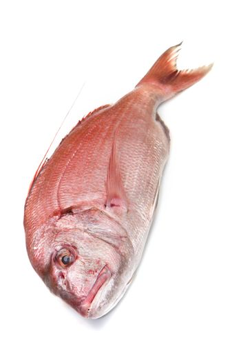 a fresh snapper red fish isolated in white background