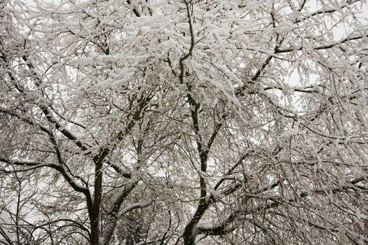 Snow Filled Tree