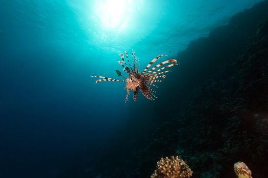 Lionfish and aquatic life in the Red Sea.