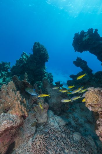 Yellowsaddle goatfish and aquatic life in the Red Sea.