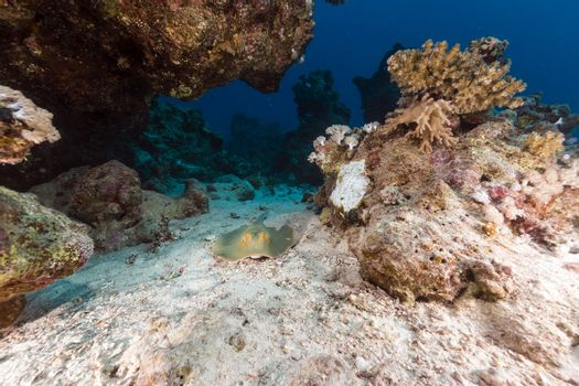 Bluespotted stingray and aquatic life in the Red Sea.