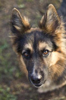 a portrait of German Shepherd