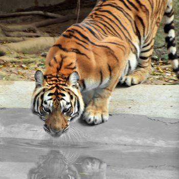 Amur Siberia tiger