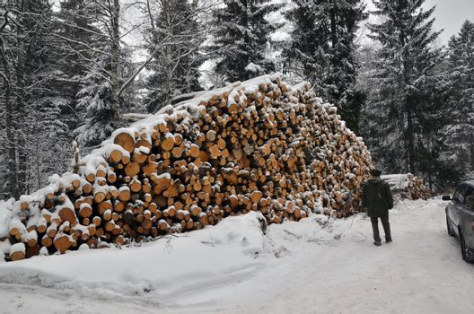 Inspecting big timber stack in a snowy forest