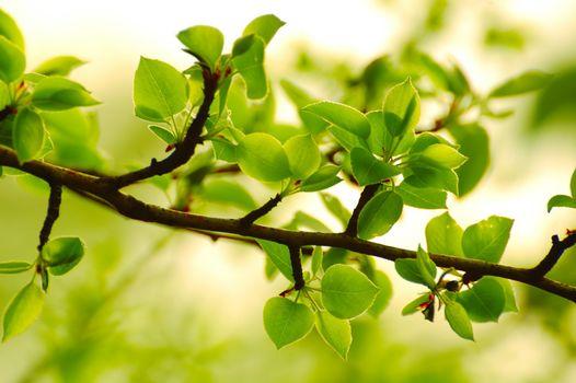 Spring Green Leaves in Bright Sunlight