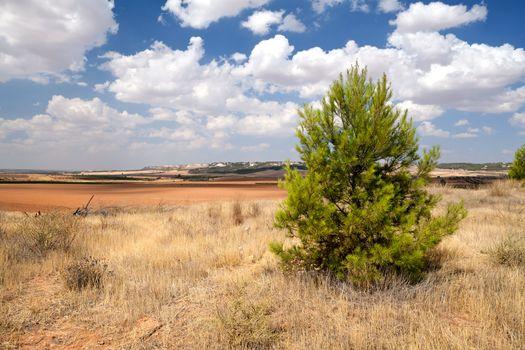 spruce on dry Spanish meadows