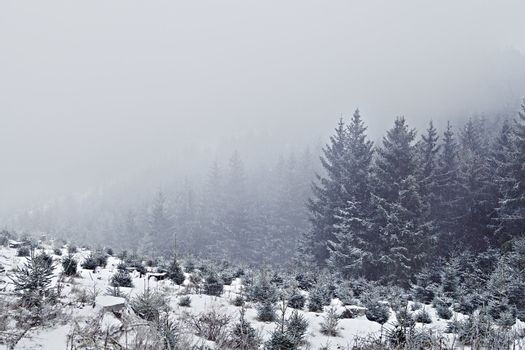 snow storm in coniferous forest
