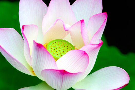 Close-up of lotus flower in the pool