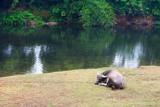 Water buffalo lying by the river