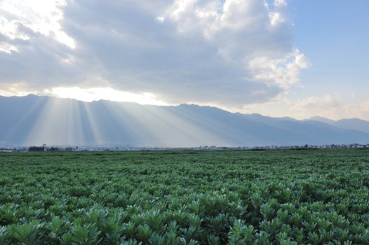 Landscape of green pea field in the sunlight, photo taken in Yunnan province, China
