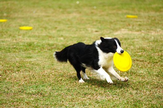 Border collie dog running and hold a dish in mouth