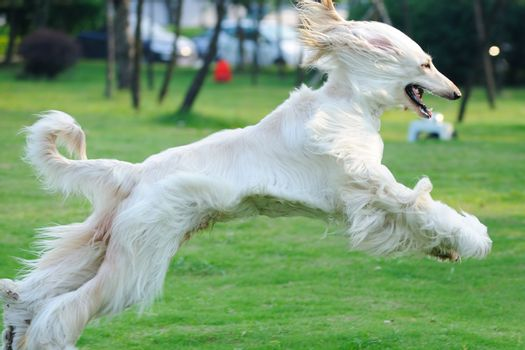 Afghan hound dog running on the lawn