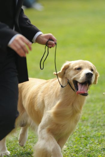 Master playing with his golden retriever dog on the lawn