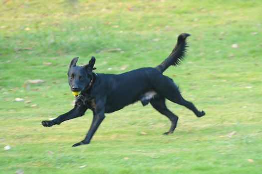 Labrador dog running on the lawn in the park