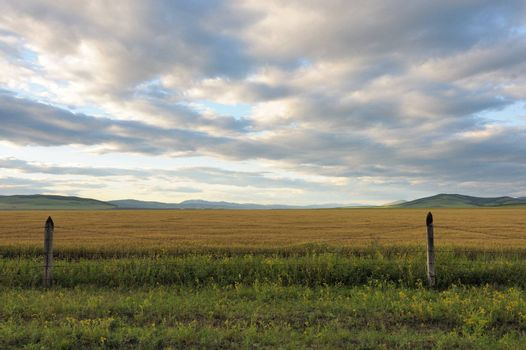 Wheat field in grassland of Hulun Buir League of Inner-Mongolia, China