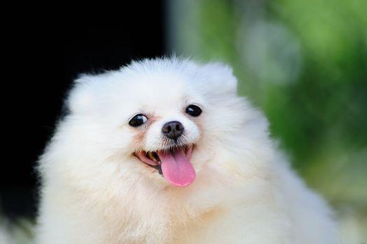 Portrait of a little white pomeranian dog
