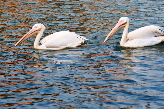 Two pelican birds swimming in the pool