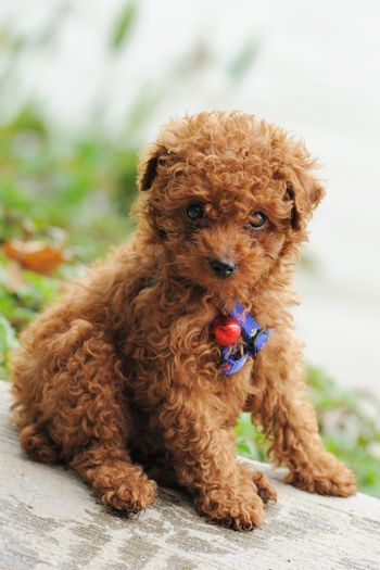 A little toy poodle dog sitting on the ground