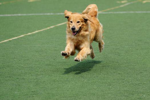 Golden retriever dog running on the playground