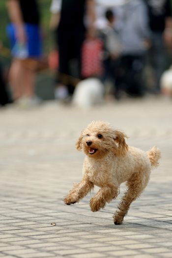 little lovely toy poodle dog running on the ground