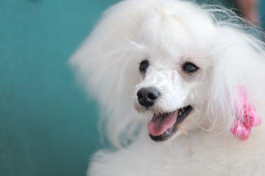 Portrait of a little white poodle dog