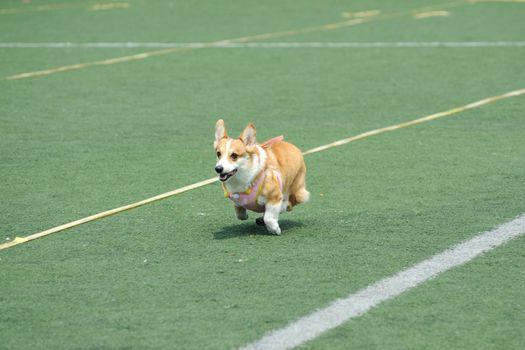 Welsh Corgi dog running on the playground