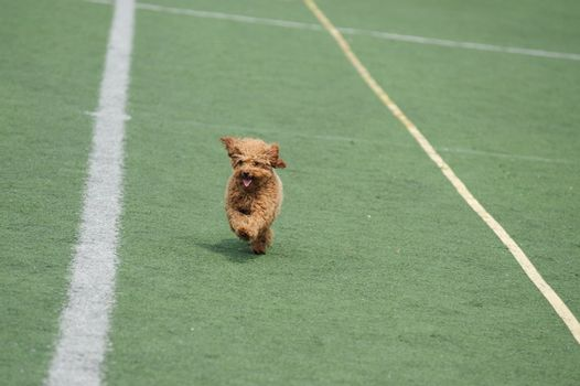 Lovely little toy poodle dog running on the playground