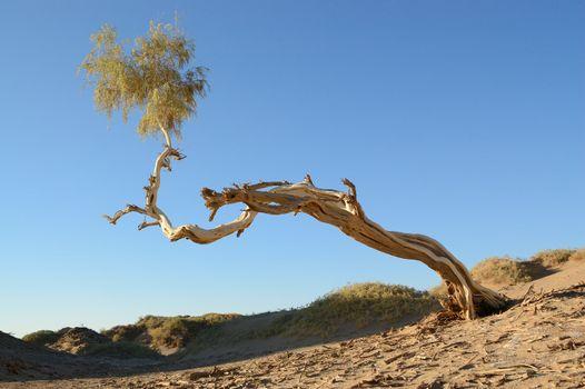 Single Diversifolia Populus tree grows on poor soil