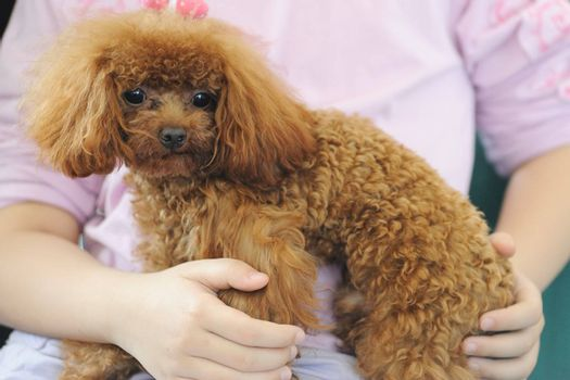 Asian kid holding a toy poodle dog in her arms