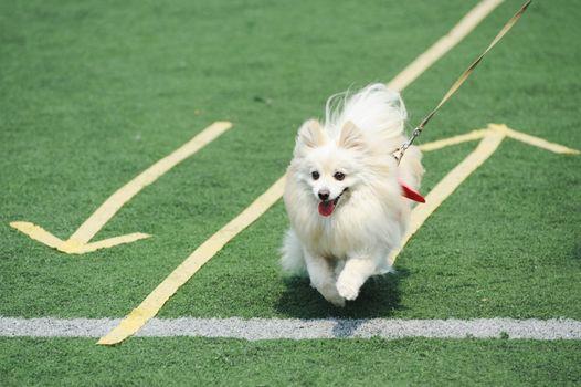 White Pomeranian dog running on the playground