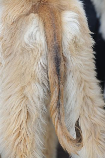 Detail view of an afghan hound dog tail