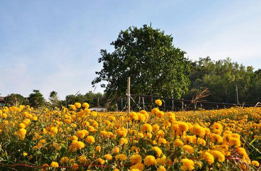 Big Tree againts Marigold farming in Thailand