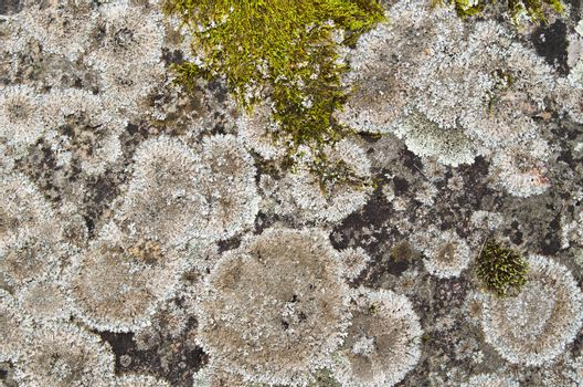Close up a lichen on a stone, a background