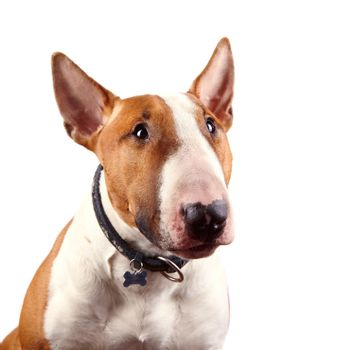 Portrait of a red bull terrier