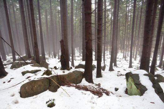 fog and snow in old coniferous forest