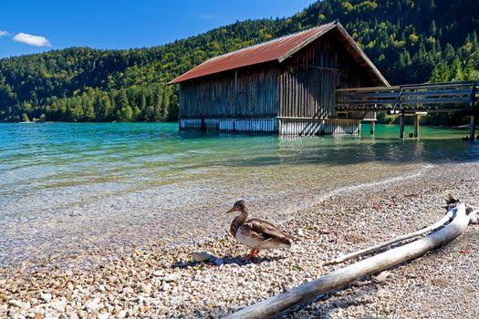 duck by fisherman hut on Walchensee